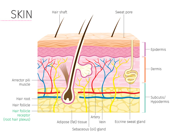 diagram of the many layers of skin.