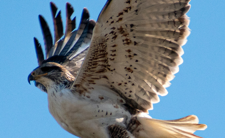 hawk with wings outstretched
